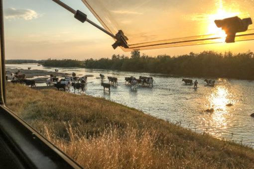 Berta umgeben von Kühen